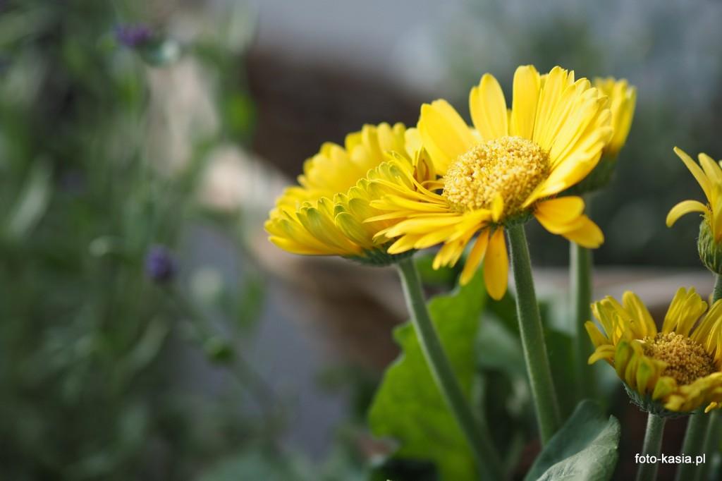 """Sesja kwiatków balkonowych. OLYMPUS OM-D E-M5 Mark II, M.Zuiko 75mm/1.8, #Olympus Sprzęt dostarczyła firma: Fotoforma Pl"""" , http://fotoforma.pl/"""